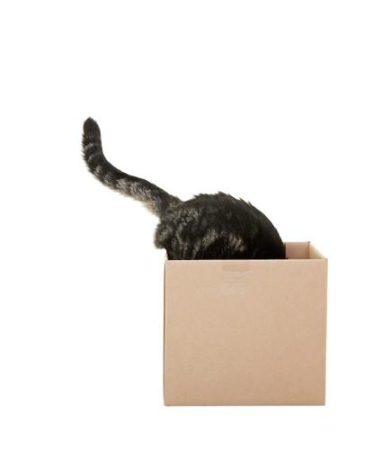顔だけをダンボールに入れる猫