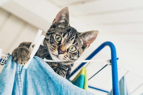 洗濯物に登る猫