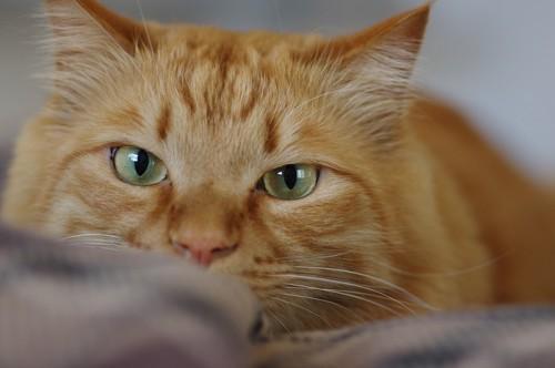 額にMマークがある茶トラ猫