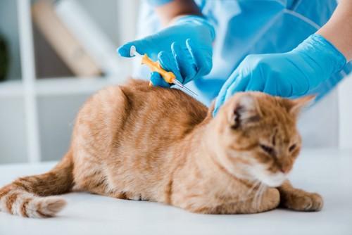 マイクロチップを入れる猫