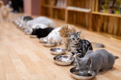一列でごはんを食べる猫