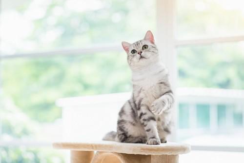 キャットタワーの上で片手を上げる猫