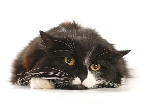 元気のない伏せる猫