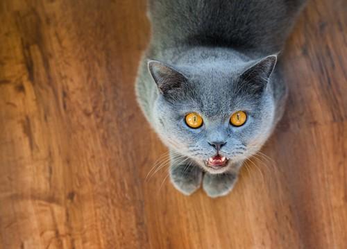 こちらを見上げて鳴くグレー猫