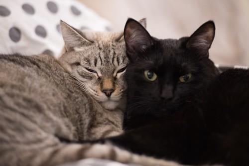 顔をくっつけて一緒にくつろぐ猫