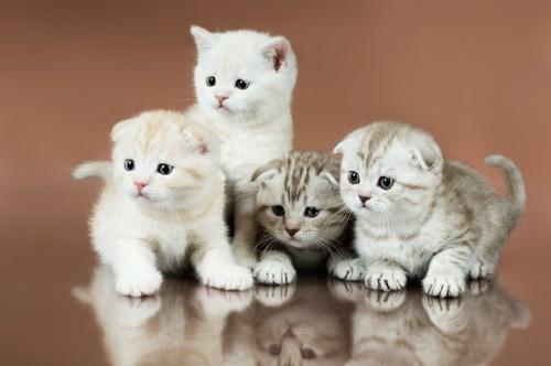 スコティッシュフォールドの4匹の子猫
