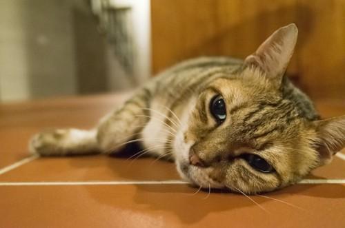 床に寝転がって遠くを見ている猫