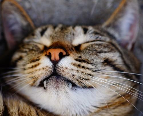 猫の寝顔アップ