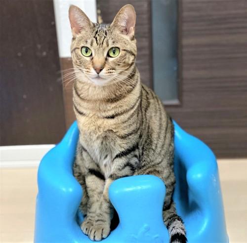 子供椅子を使いこなす猫