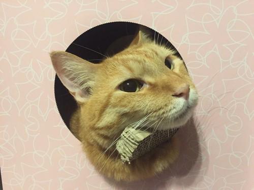 顔を出す茶トラ猫