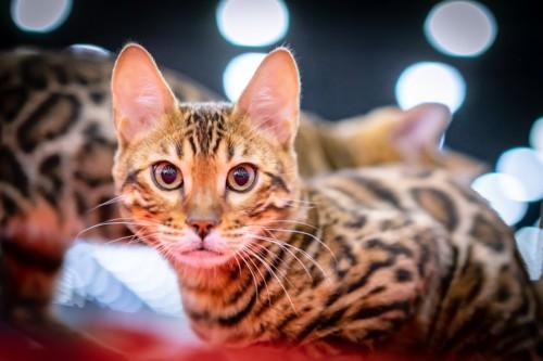 キラリとした目の猫