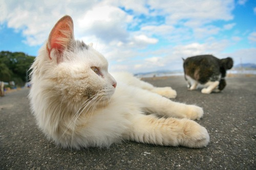 猫島で横たわる猫