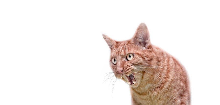 ものすごく怒っている猫