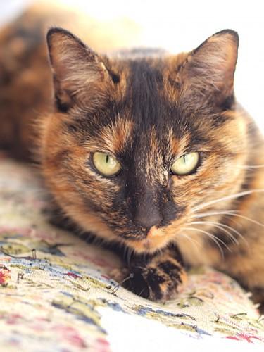 茶色が多めのべっこう猫
