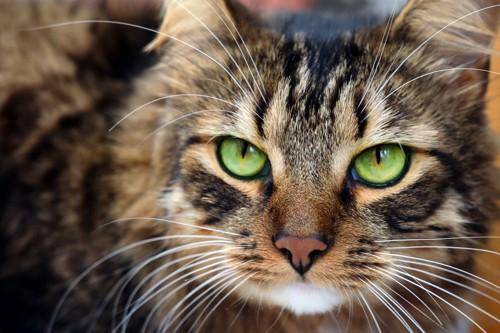 グリーンの瞳の猫