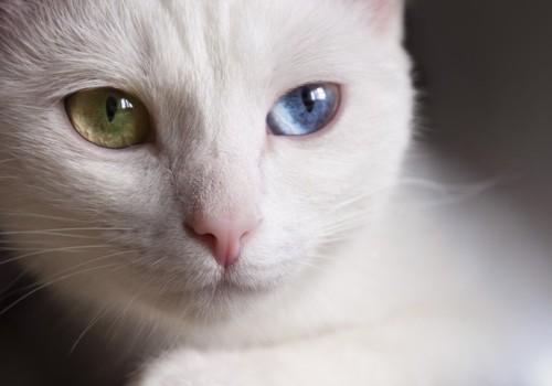オッドアイの目の猫