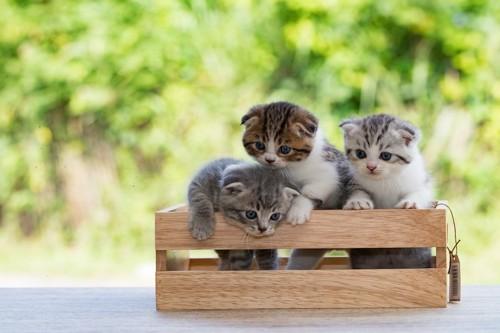 木箱に入っている3匹のスコティッシュフォールドの子猫