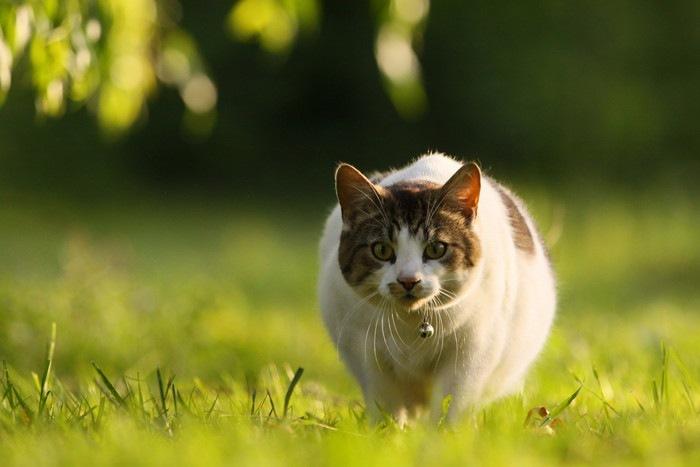 狩りをする鈴をつけた猫