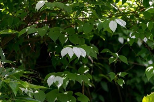 またたびの白い葉っぱ