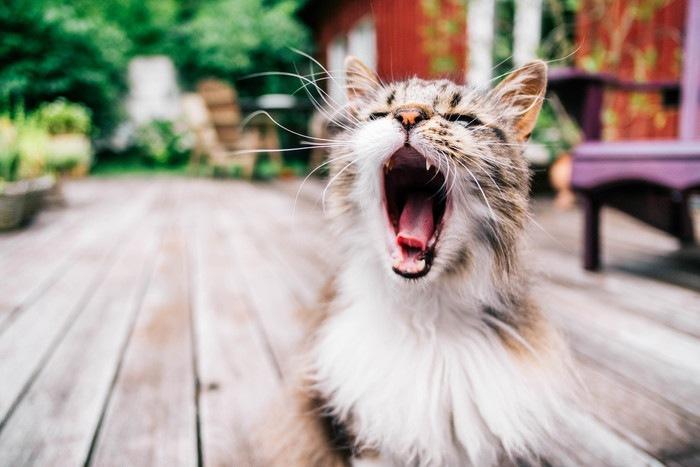 大きな口を開け鳴く猫