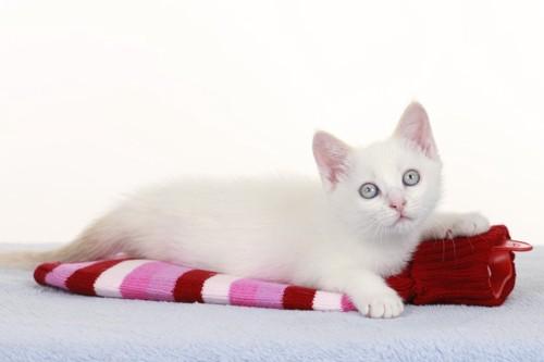 湯たんぽを使う白い猫