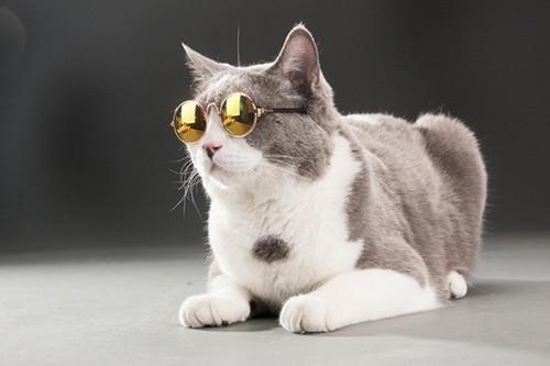 メガネをする猫