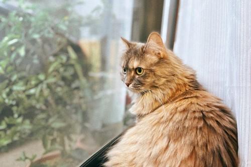 座って窓の外を見る長毛の猫
