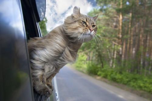車の窓から気持ち良さそうに身体を出している猫