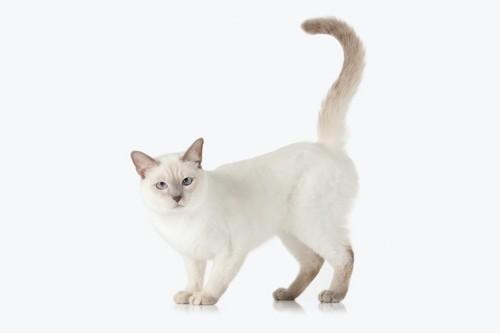 尻尾を上げてこちらを見つめる白猫