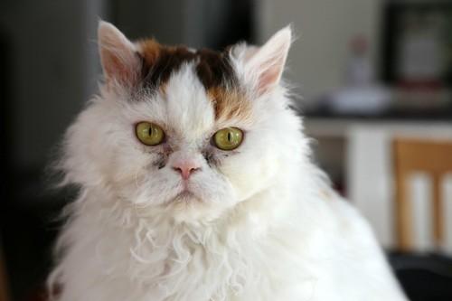 こちらを見ている高齢の猫