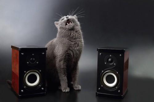 スピーカーの間に座って鳴く猫