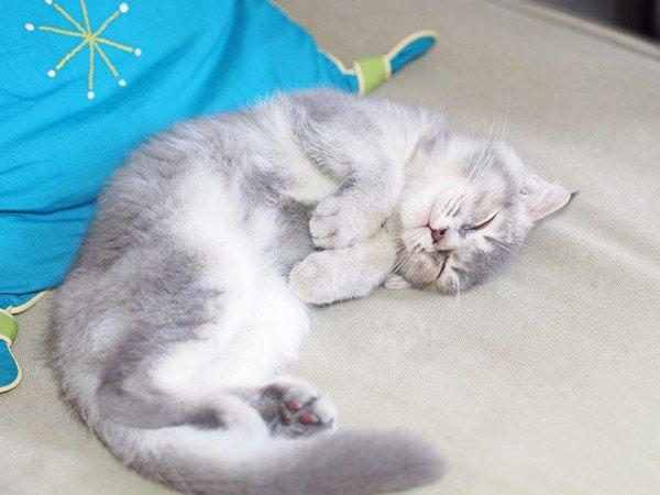 青い布の上で寝る猫