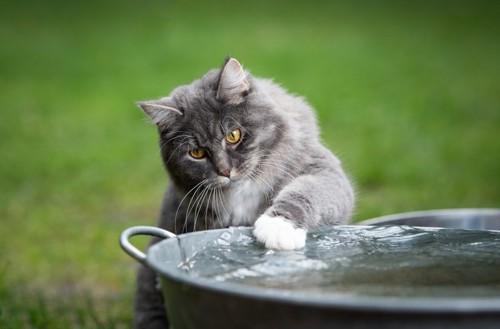水に触れる猫