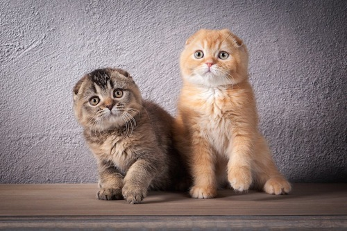 並んで座る2匹のスコティッシュフォールドの子猫