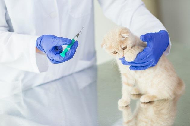 猫エイズのワクチンを接種する猫