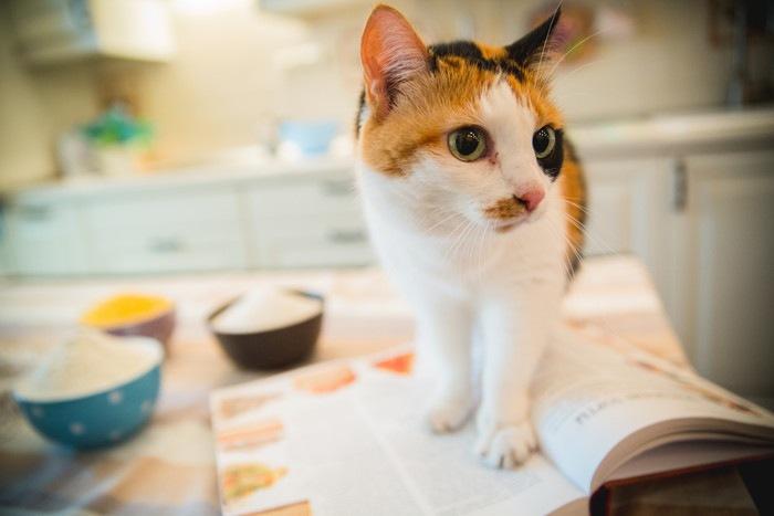 キッチンで開いた本の上に乗る猫