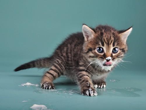 口のまわりにミルクがついてる猫