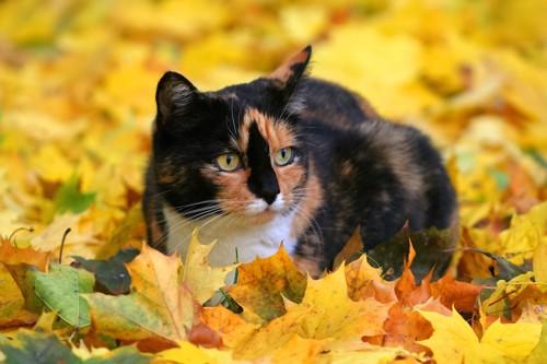 紅葉の中で座るサビ柄猫