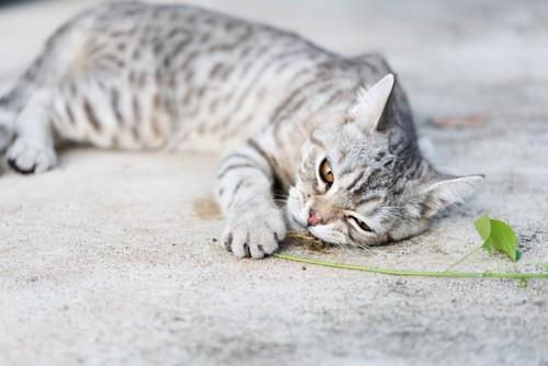 キャットニップを嗅ぐ猫