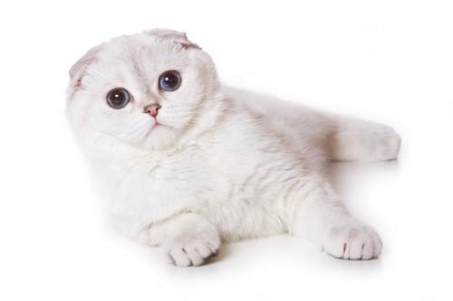 まん丸な瞳で見つめる白いスコティッシュフォールド