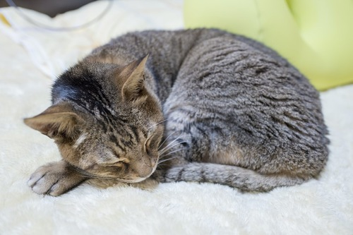 布団の上で丸まっている老猫