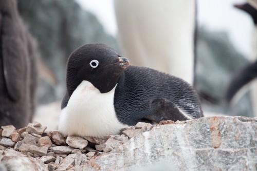 石の上で腹ばいになり、顔を横へ向けるアデリーペンギン