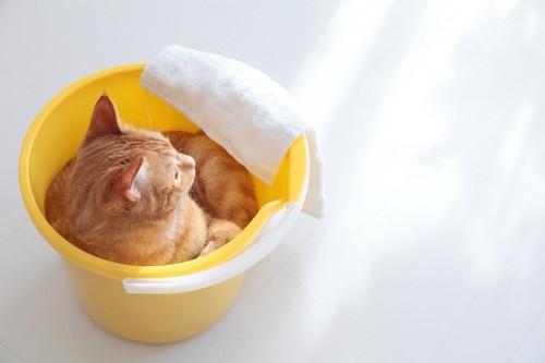 黄色いバケツに入った猫