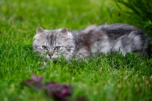草に潜んで獲物を狙う猫