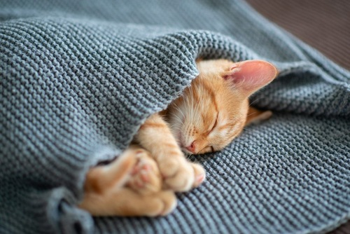 セーターにくるまり眠る猫