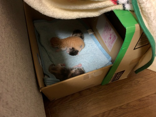 子猫3匹産箱にて