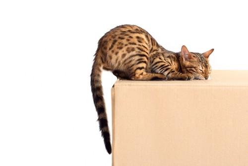 段ボール箱のにおいをかぐ猫