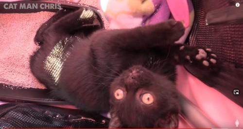 キャリアの中で寝そべる子猫