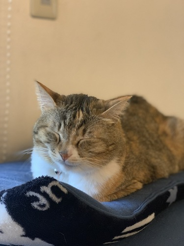 クッションの上で香箱座りで寝る猫