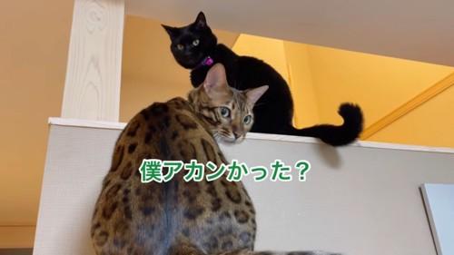 おすわりする2匹の猫